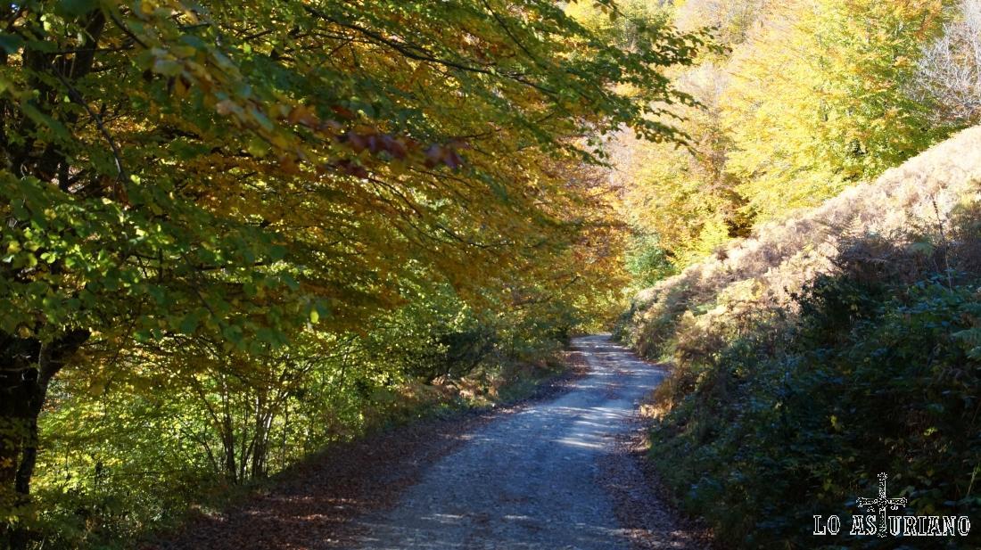 Las ramas de las hayas se abren sobre el camino.