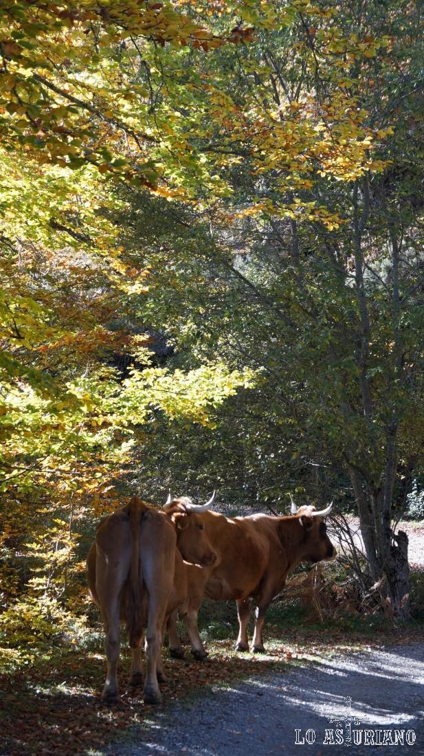 Vacas en la pista de Peloño.