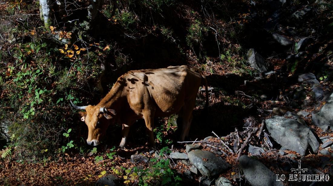 Vaca en Peloño.