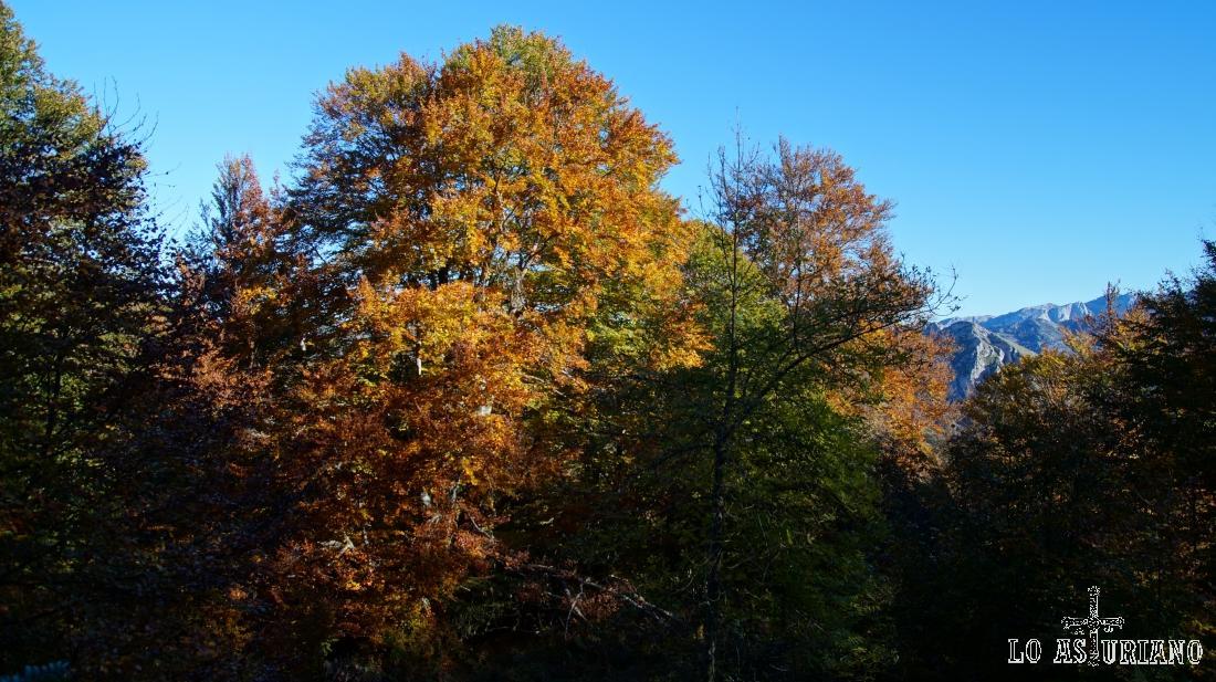 Hayas en el bosque de Peloño.