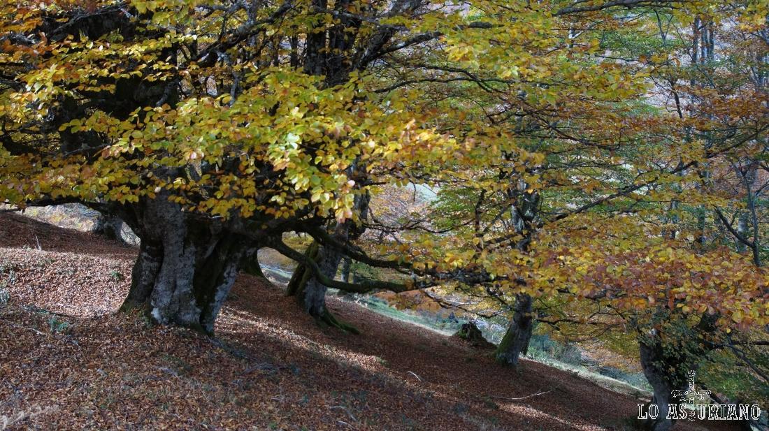 Hayedo en Peloño, Asturias.