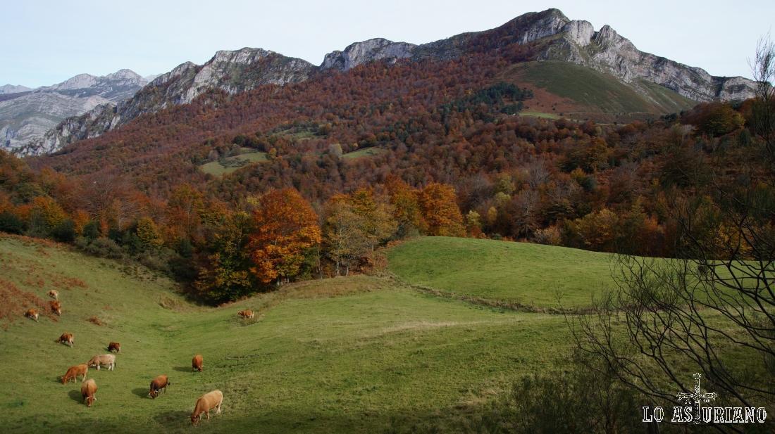 Vacas en los prados del bosque de Peloño, frente al Sen de los Mulos.