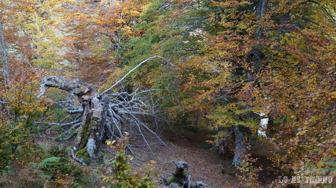 Precioso hayedo pongueto de Peloño, con muchos km2 de hayas, llegando incluso esta masa forestal a envolver al vecino pico Maciédome.