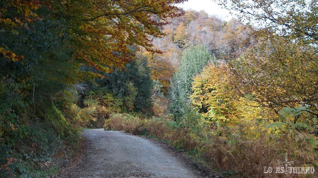 Hayedo en otoño en el oriente de Asturias.