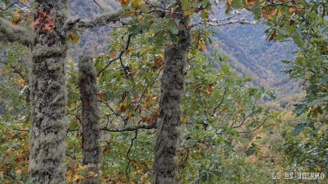 Los líquenes abundantes en los troncos son indicio de buena salud del árbol.