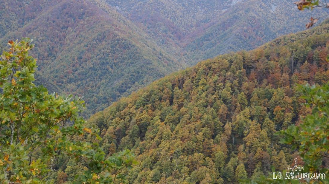 Robledal albar, Muniellos, Cangas del Narcea, Asturias.