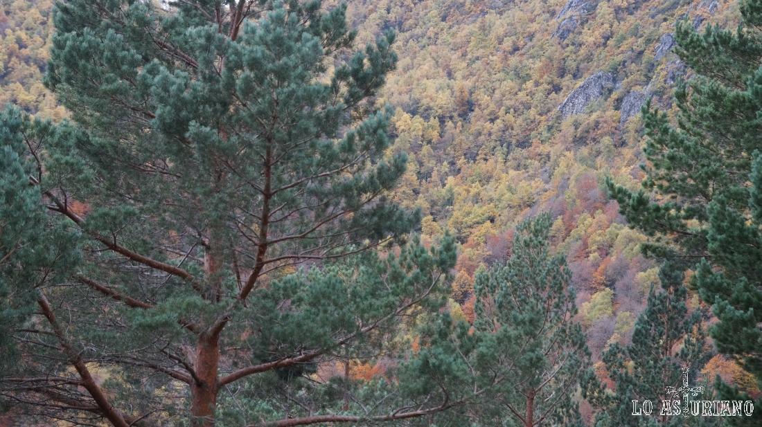 Los pinos albares permanecen impasibles al otoño, mientras que los robles se van rindiendo poco a poco.