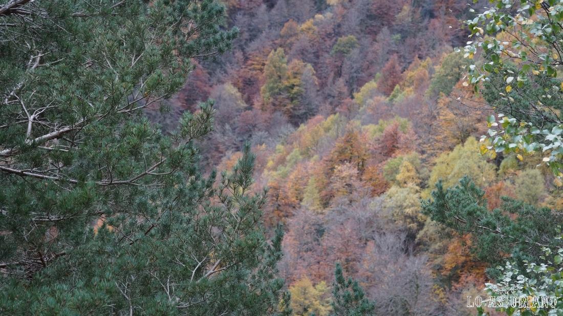 El bosque de Muniellos, tras los pinos albares de la carretera del puerto del Connio.