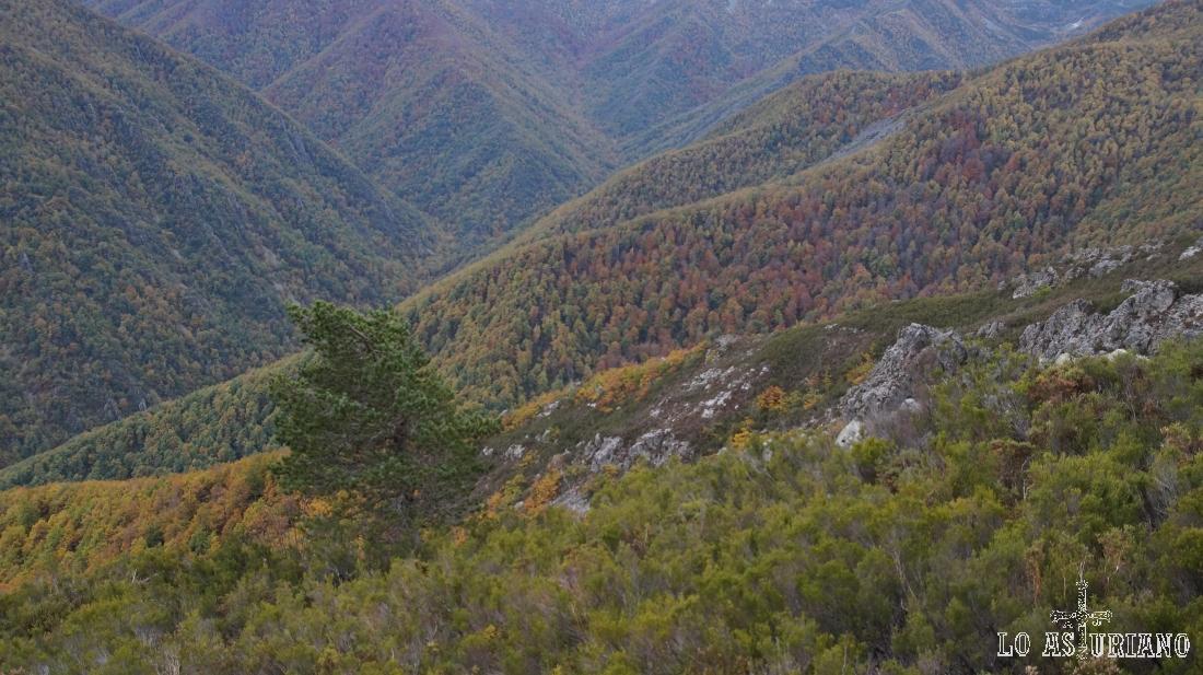 El pino solitario azotado por el viento y detrás, el robledal de Muniellos.