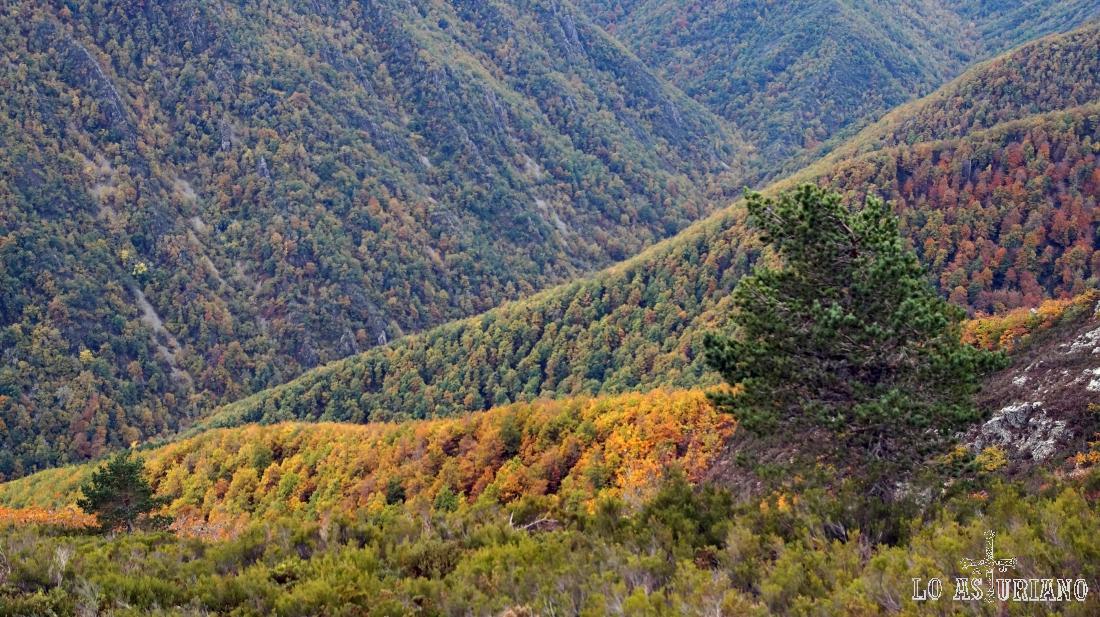 Un par de pinos, entre el hermoso robledal de Muniellos.