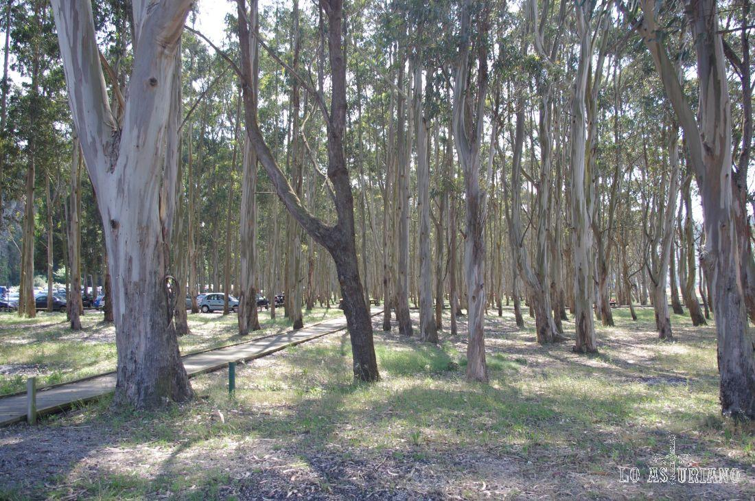 Formidables eucaliptos en Rodiles. Este árbol, de origen australiano, fue introducido en la Cordillera Cantábrica en 1860 por Fray Rosendo Salvado.