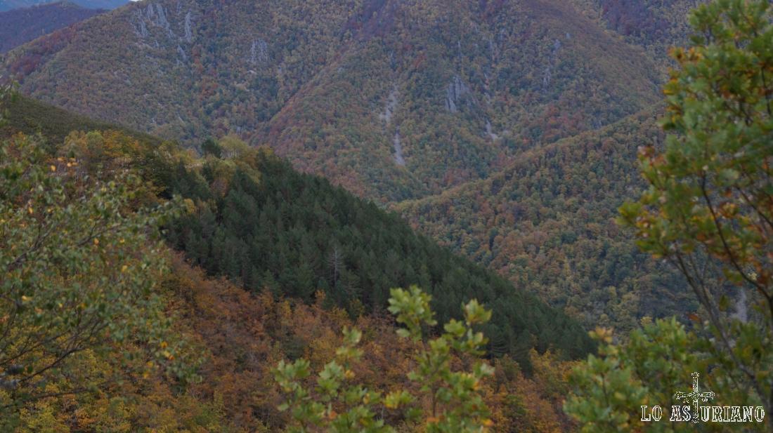 Robles albares y en medio, una isla de pinos albares.