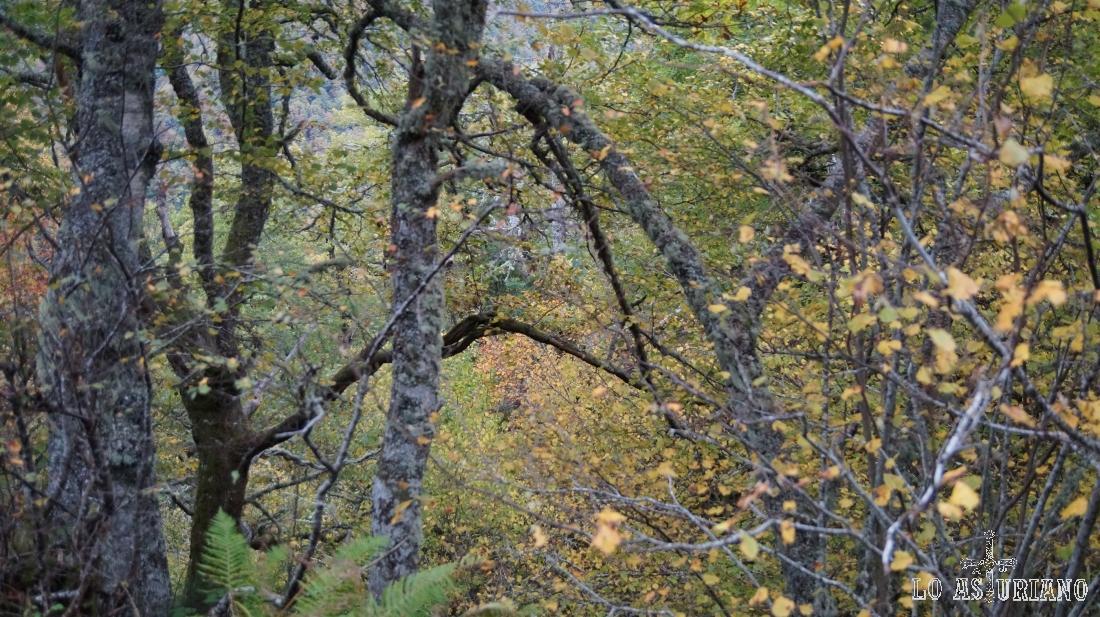 El espectáculo del otoño en Muniellos es indescriptible.