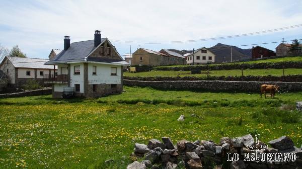 Vaca pastando en los prados de El Puerto, Somiedo, Asturias.
