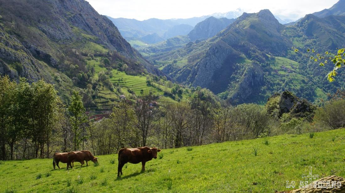 Vacas en los prados del entorno de Ambingüe, Parque Natural de Ponga, Asturias.