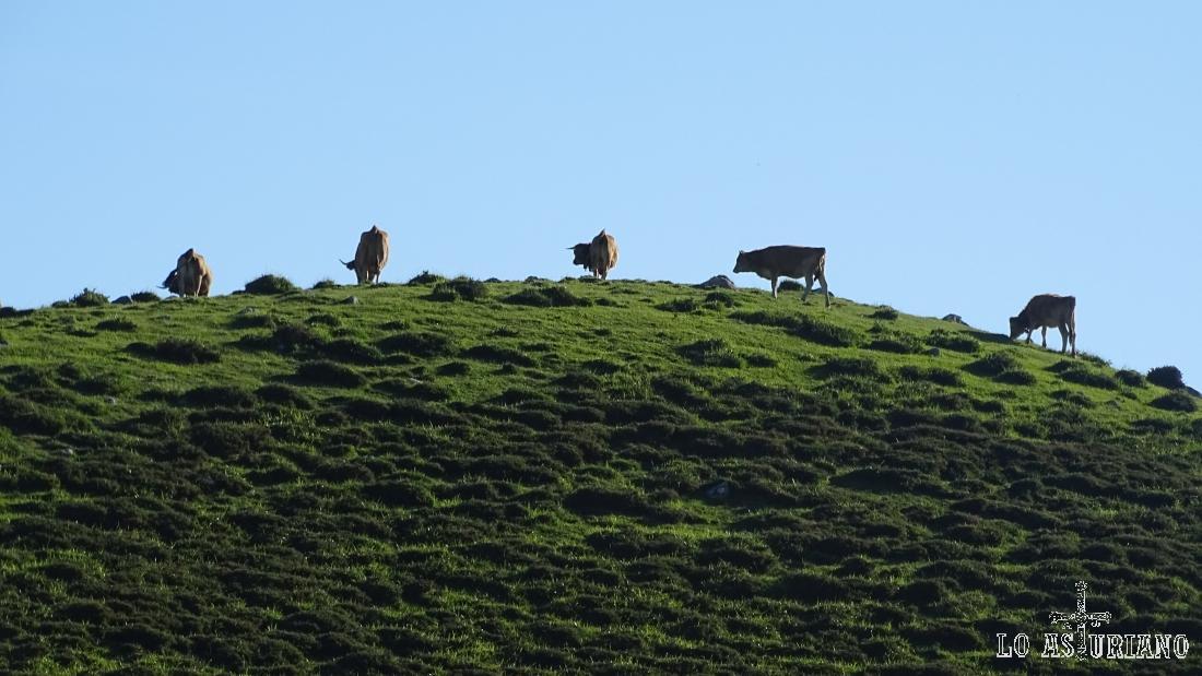 Vacas en una verde loma.