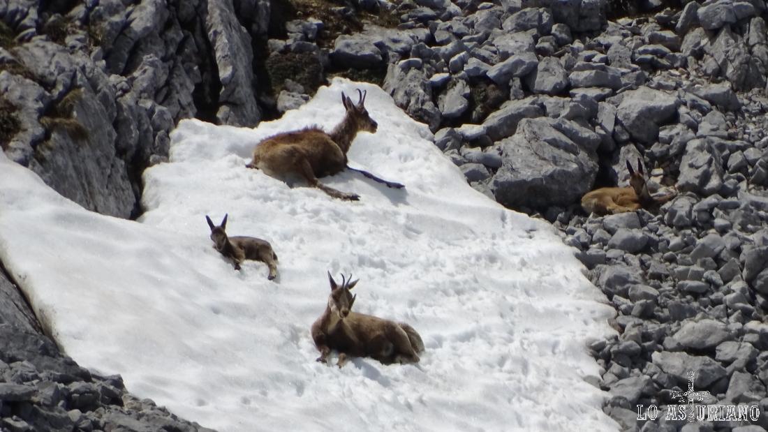 Familia de rebecos, aliviando el calor en un nevero; Picos de Europa.