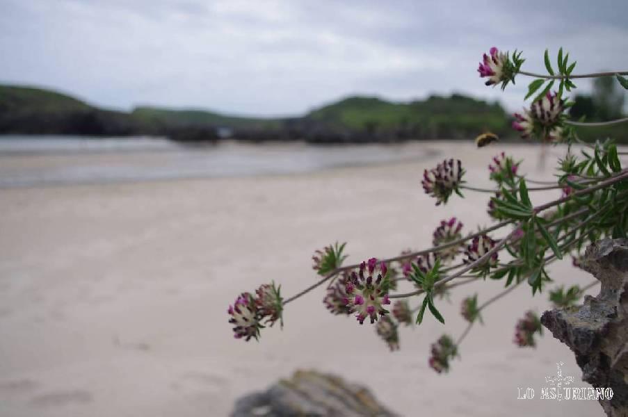 """Soy amateur en esto de hacer fotos, y nada, """"experimentando"""" con los botoncitos de la cámara (esos grandes desconocidos), me salió una foto chula en la playa de Barro (que está al lado de la flor)!..."""