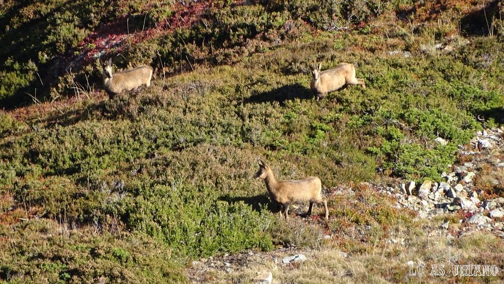 En el Cueto son muy abundantes los grupos de rebecos.