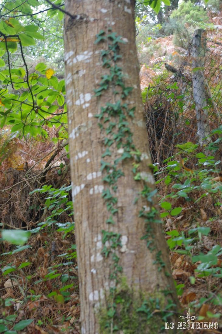 La hiedra forma una forma simétrica en el tronco.