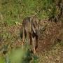 Uno de los lobos del cercado lobero de Belmonte de Miranda.