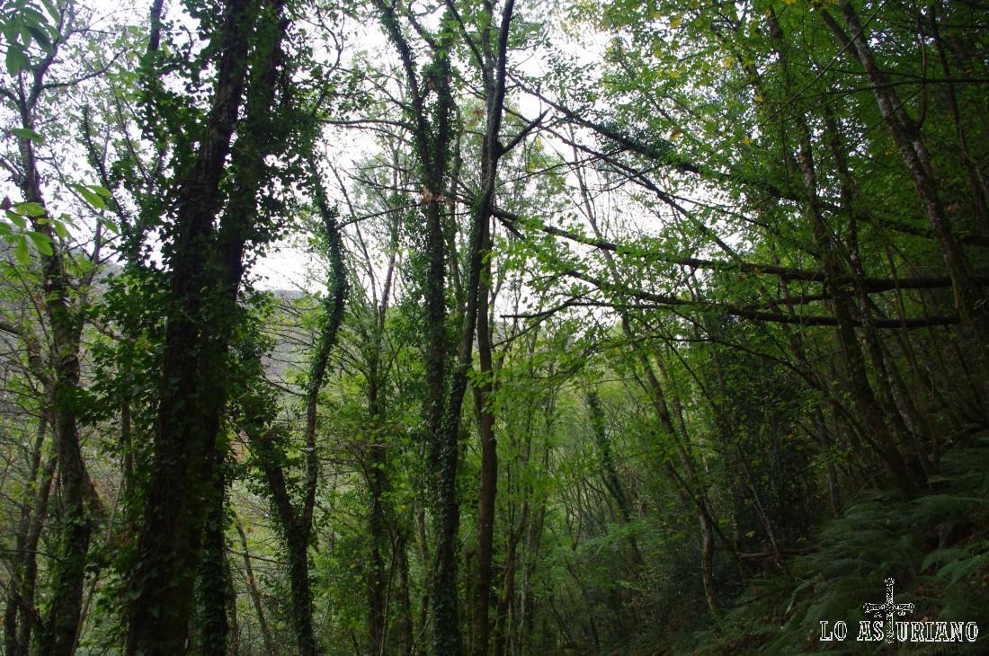 Los abedules y castaños se enredan entre si en este espléndido bosque de Taramundi.