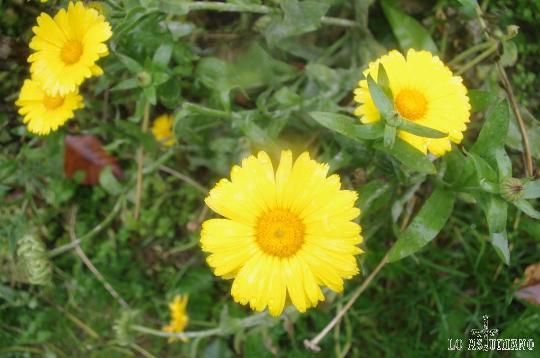Margarita amarilla.
