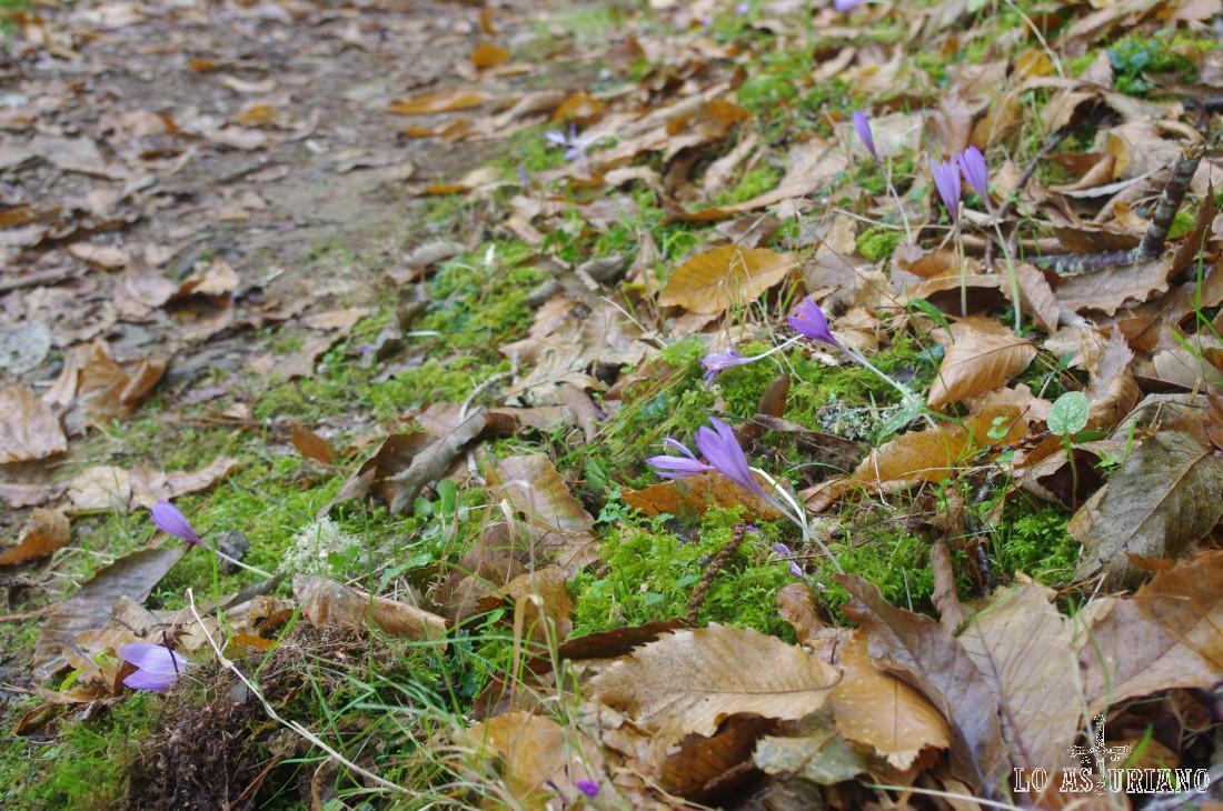 Narcisos de otoño, entre la ojarasca.