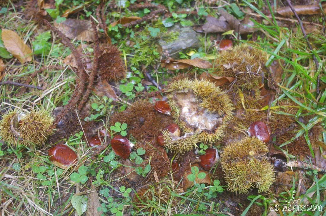 Castañas en la senda, en pleno otoño del 2012.