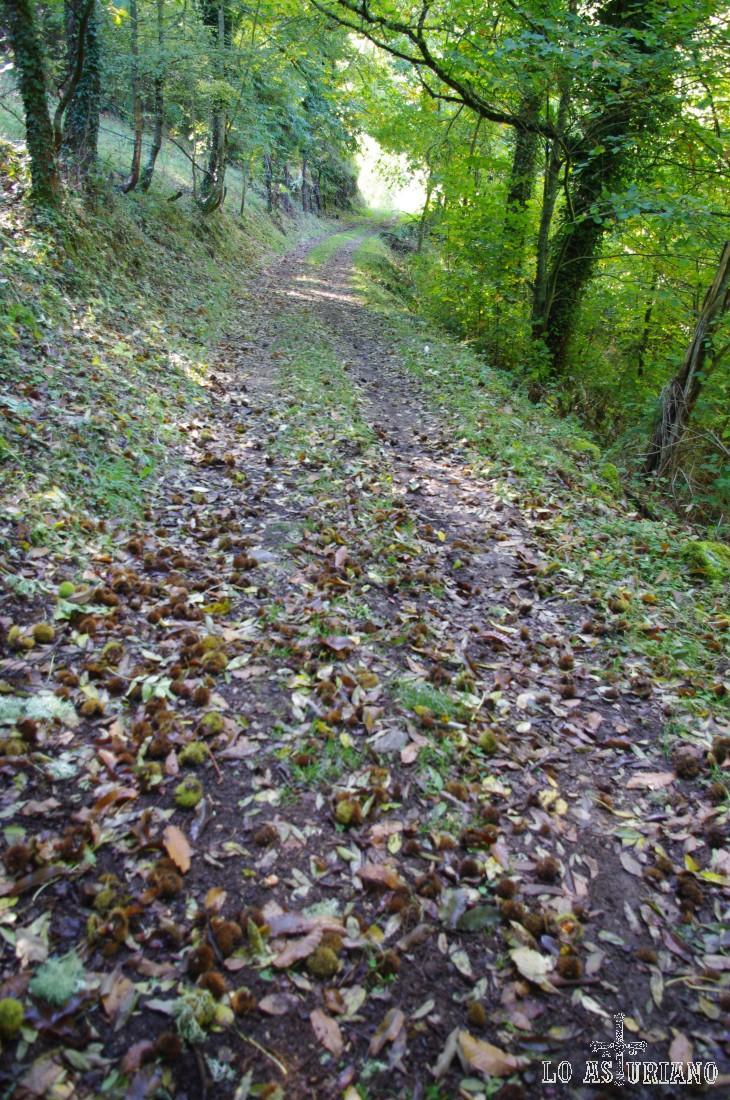 Alfombra de ojarasca y de erizos de castañas en esta bonita senda de Moal.