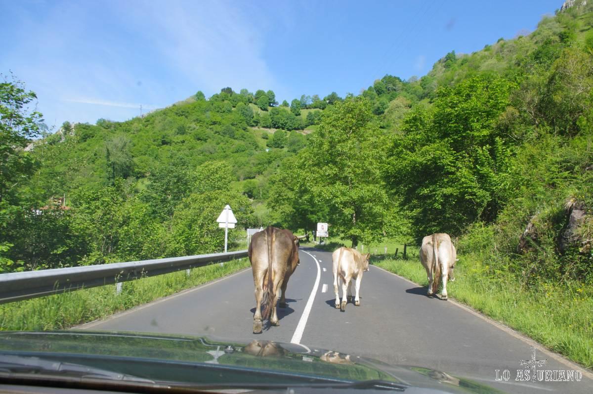 En muchas zonas de Asturias, las vaquiñas tienen prioridad!... Cuando lo creen conveniente, el coche puede continuar!... :)