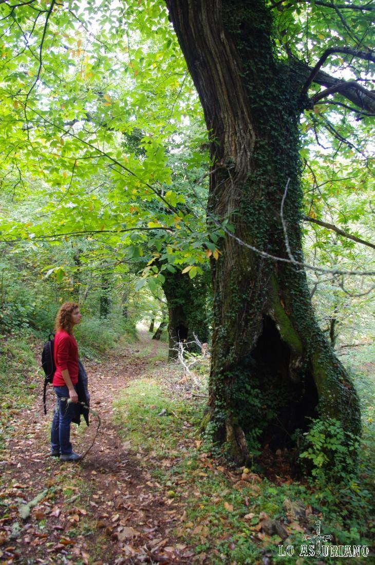 Extraordinario castaño, uno de los árboles más bonitos, especialmente en otoño.