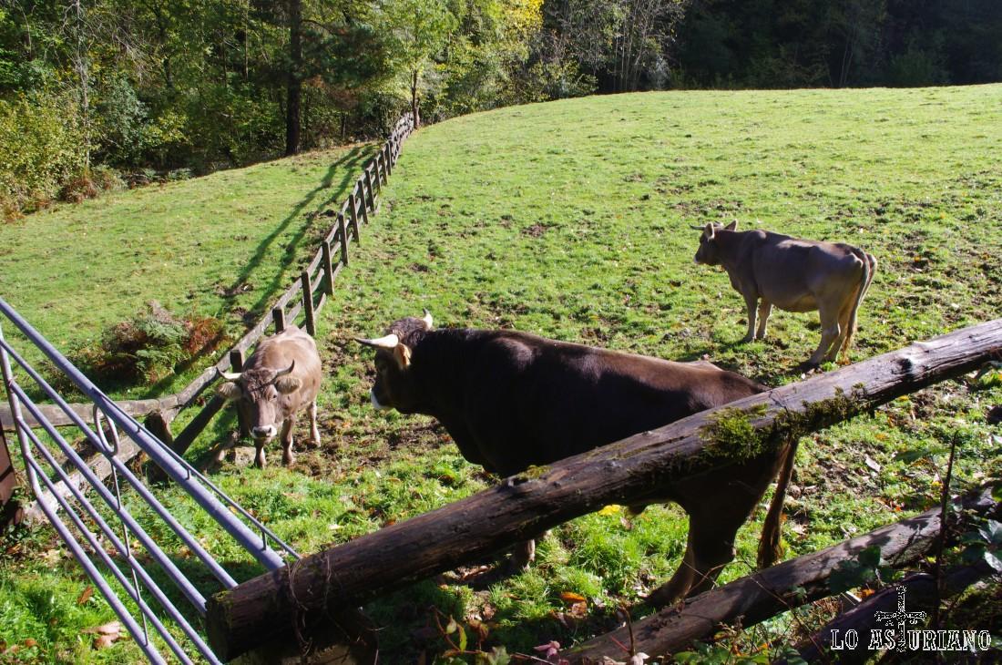 Toro y vacas en la ruta del Alba.