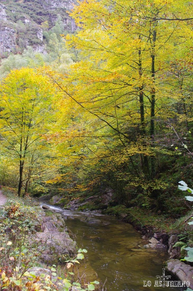 Las ojas caducas, con el frío y la falta de luz del otoño, han tomado este precioso aspecto amarillo.