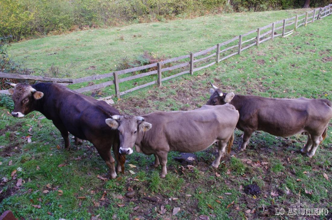 Vacas y toro, pasado el Retortoriu.