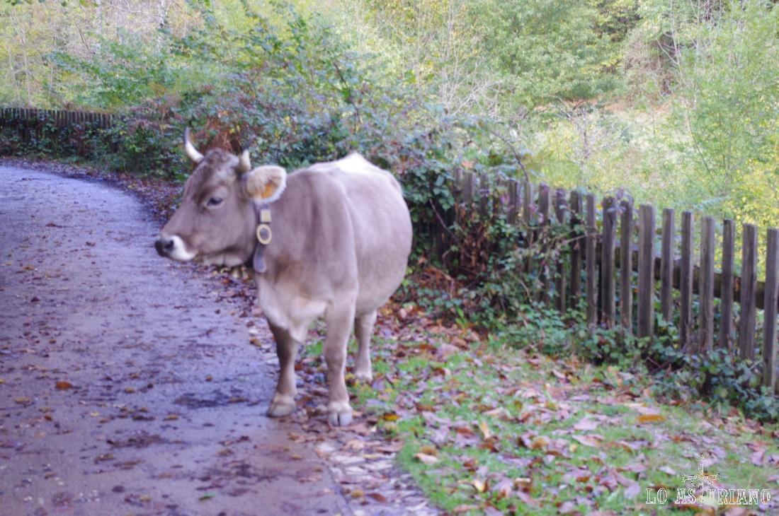 Vaca en la senda del Alba.