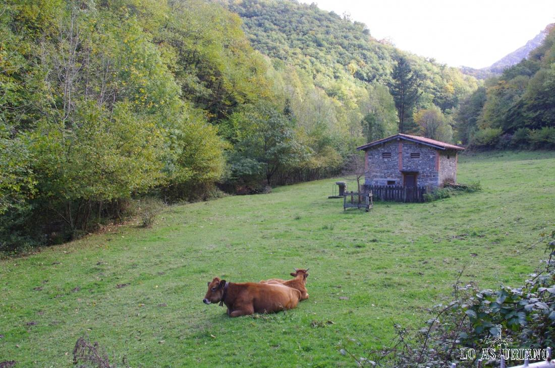 Vacas y caseta ganadera.