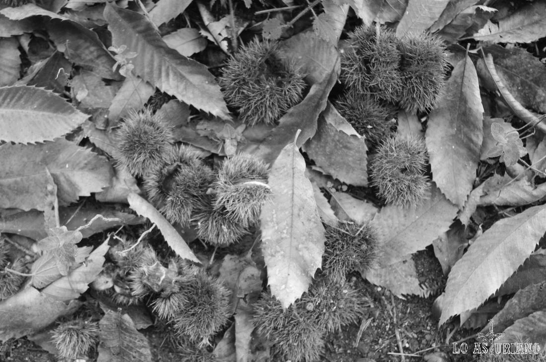 Castañas en otoño.