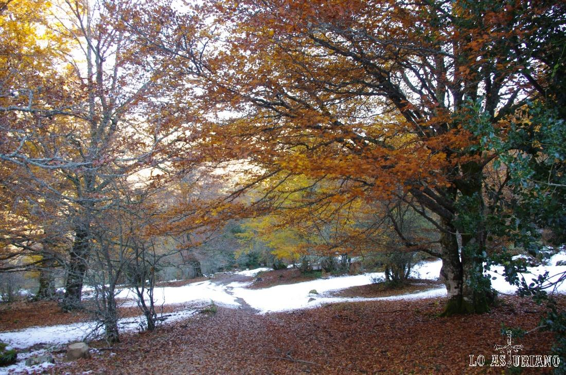 Hayas en otoño