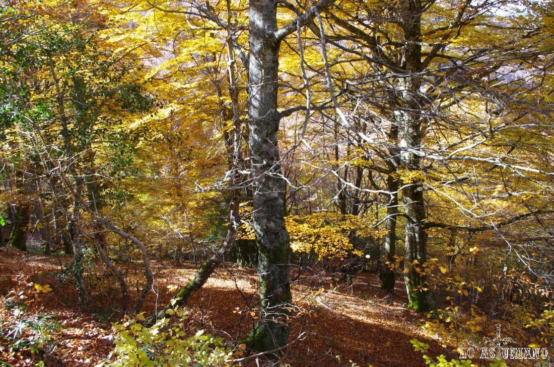 Estampa otoñal en los bosques de hayas de Redes.