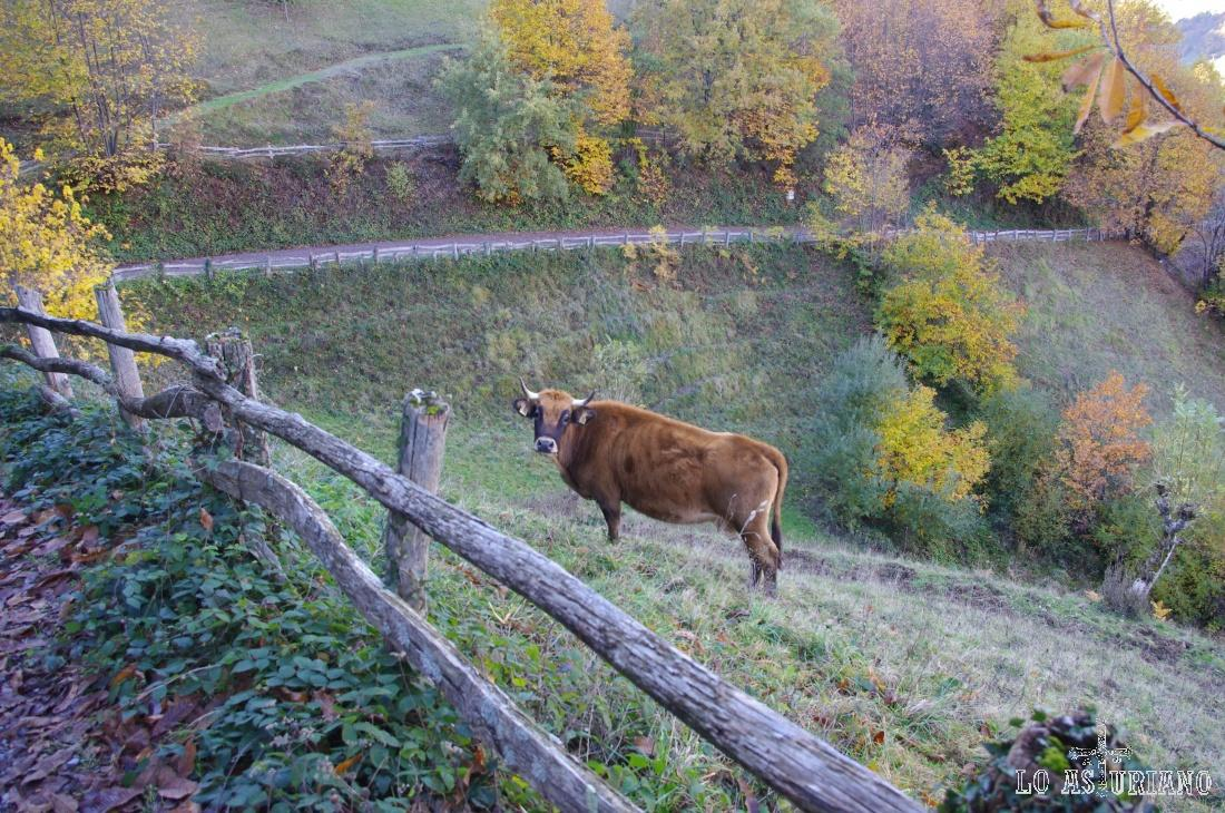 Vaca en Bezanes