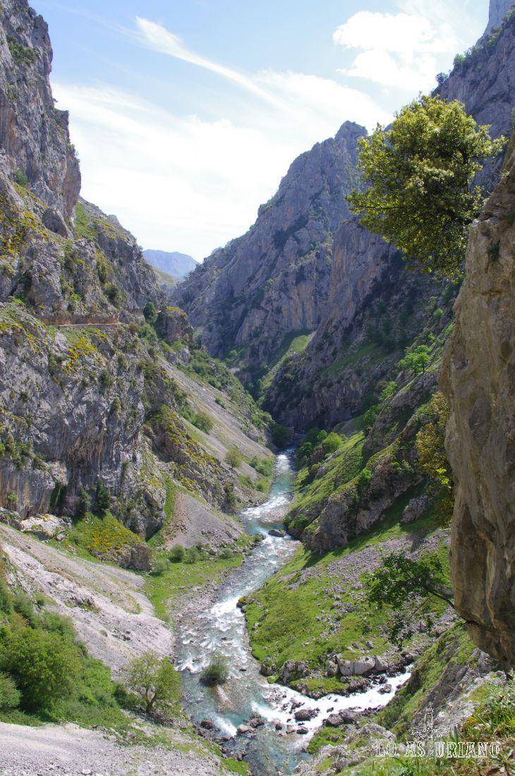 Arbol asomado para ver el paso del precioso río Cares.