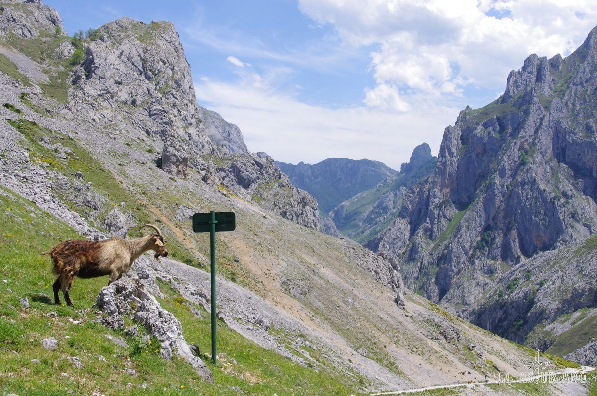 Cabra vigía, al lado de la pancarta de Los Collados.