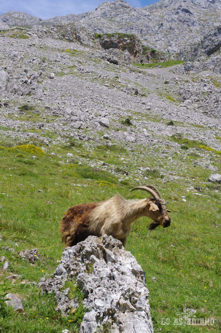 Estas cabras son las responsables del buenísimo queso de Cabrales, que se produce en estas montañas.