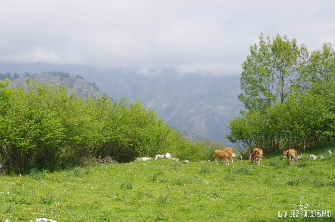 Las vaquiñas de Jaces se encuentran en territorio de lobos; cada vez son más frecuentes los ataques lo lobo ibérico en esta zona de Trespandiu.