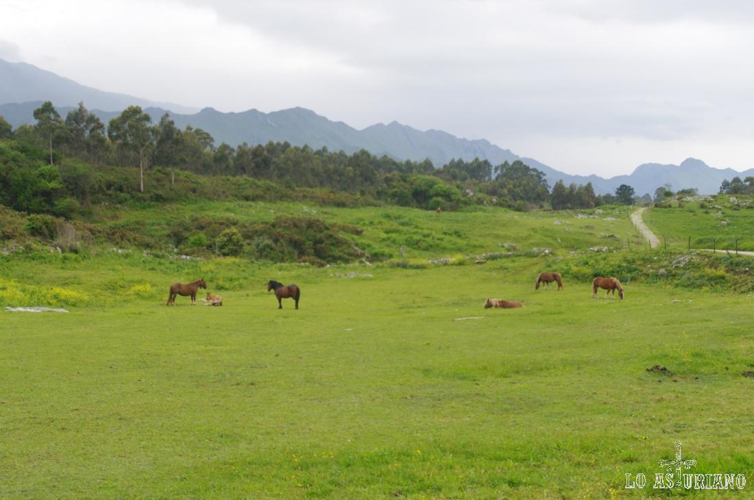 Majada de caballos en Vidiago.