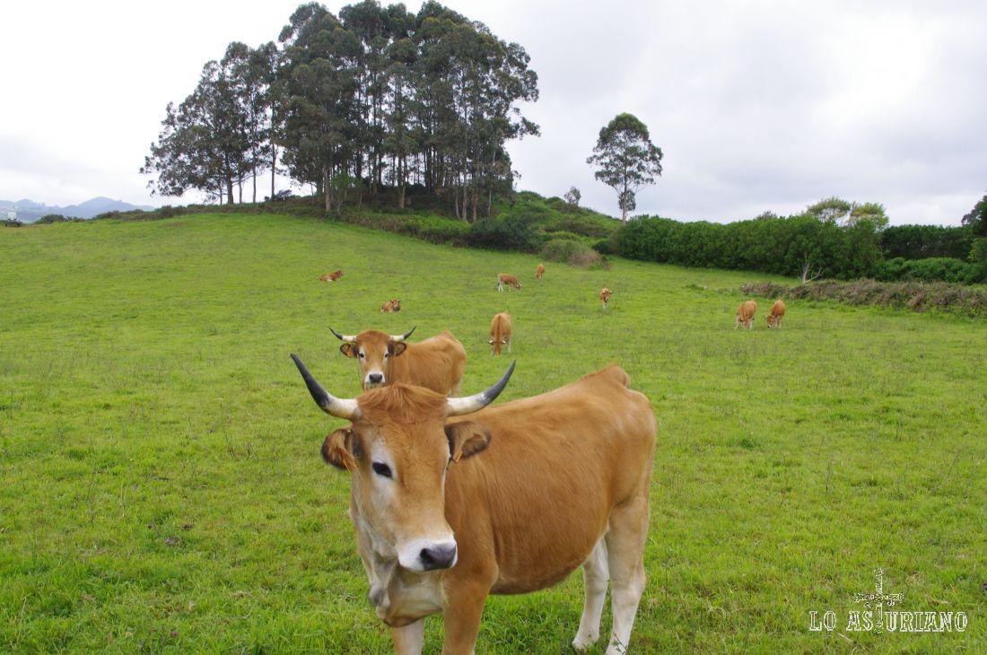 En las explotaciones ganaderas pequeñas, como esta, se suele poner nombres a las vacas... Como se llamará esta tan presumida?... cristiana ronalda?... Espero que no!... :)
