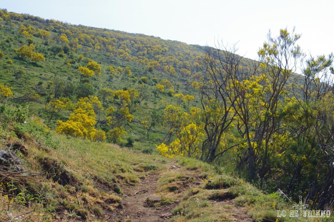 De repente caminamos entre un pequeño bosque de escobas, en uno de los paisajes típicos de la primavera-verano somedanos.