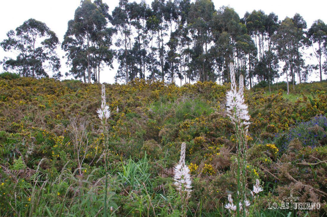 Tojos, flores y eucaliptus en la ruta La Isla - La Griega.