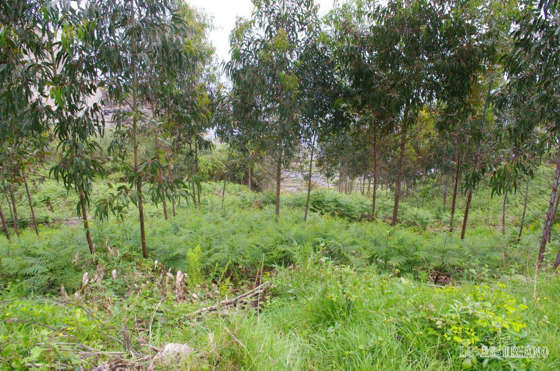 Vamos subiendo la rampa, rodeados de eucaliptus.